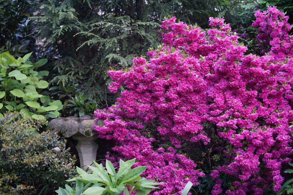 Purple rhododendron