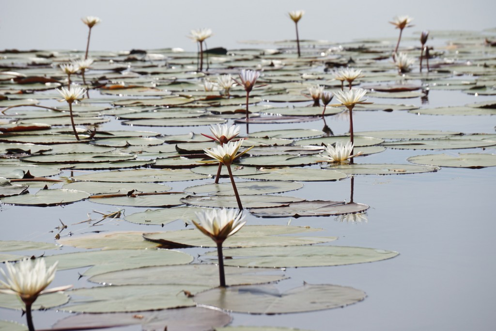 Lilypads in South Africa